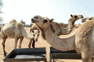 HOW CAMEL WASTE IS FUELLING THE UAE'S CIRCULAR ECONOMY